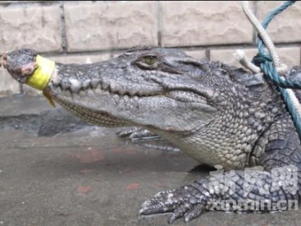krokodil_china_2