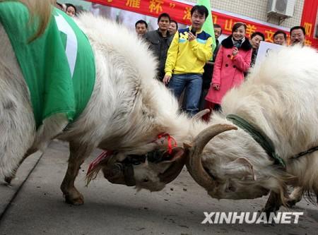 china_koning_geit_1