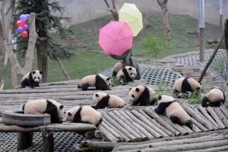 china_panda_3