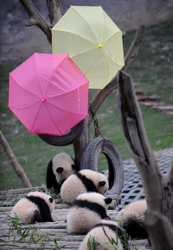china_panda_5