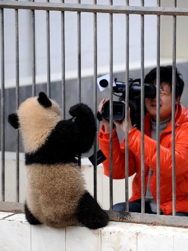 china_panda_6