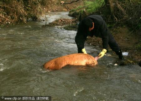 varkens-china-1