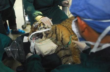 oogoperatie-tijger-china-3