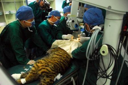oogoperatie-tijger-china-4