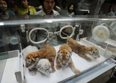 bengaalse-tijgers-china-1