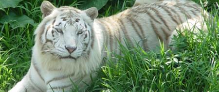 bengaalse-tijgers-china-3