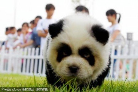 panda-honden-china-2