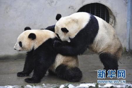 neukende-panda-china-2