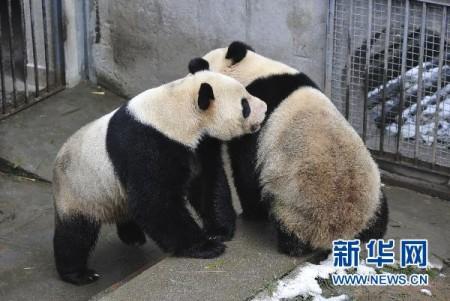 neukende-panda-china-3