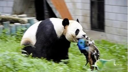 panda-doodt-blauwe-pauw-1