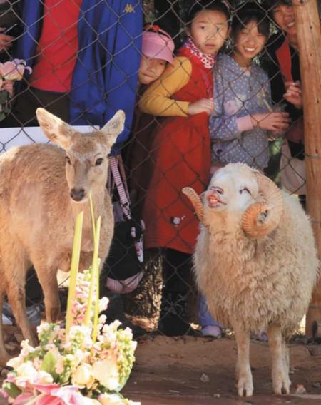 schaap-hert-trouwen-china-1